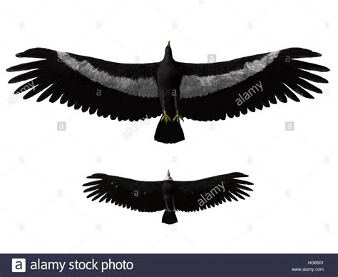 Argentavis magnificens compared to an American condor