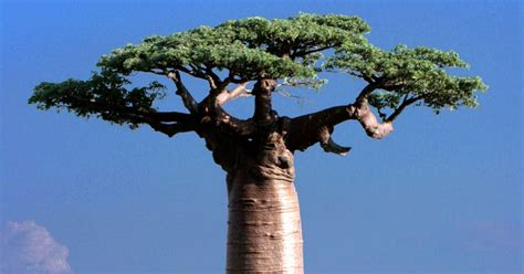 Wild Harvest Pharma: Baobab Trees And The Community