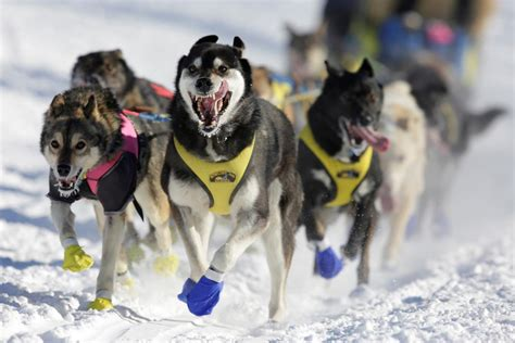 Four-Time Iditarod Winner Allegedly Gave Banned Substance