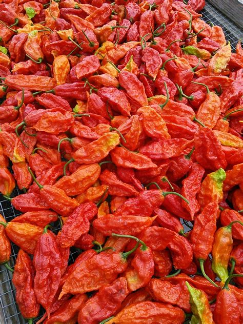 Fresh bhut jolokia aka ghost peppers - We grow some of the