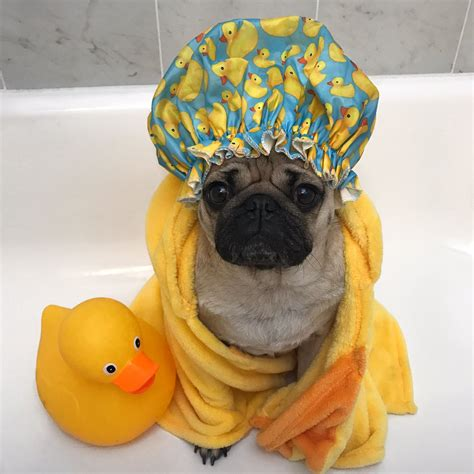 """Doug The Pug on Twitter: """"If taking a shower is all I do"""