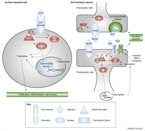 Oncogenes on my mind: ERK and MTOR signaling in cognitive