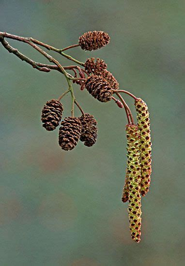 ARBOREAL about Trees >> Common Alder > Alnus glutinosa