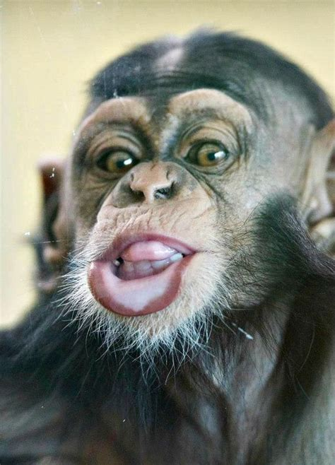 Funny Faces from Zuri the Baby Chimpanzee - ZooBorns