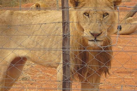 Lion Group Says Starvation Could Face Thousands of Lions