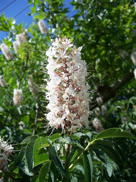 Aesculus californica - Wikispecies
