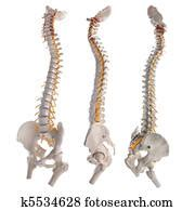 Spinal Column Stock Images | Our Top 1000+ Spinal Column