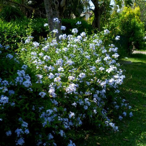 Plumbago - Queensland Gardening Pages (Plants & gardens