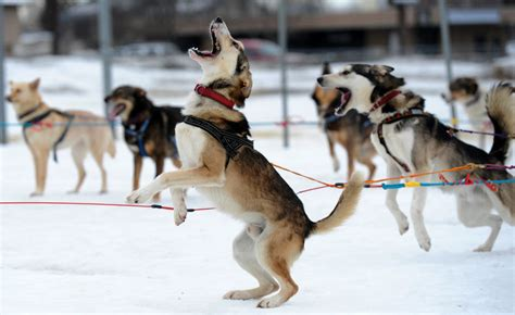 Images from the 2014 Iditarod dog race – The Eye