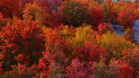 Maple Forest in Autumn, Eureka, Stock Footage Video (100%