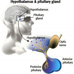Posterior pituitary - Location, Anatomy, Function